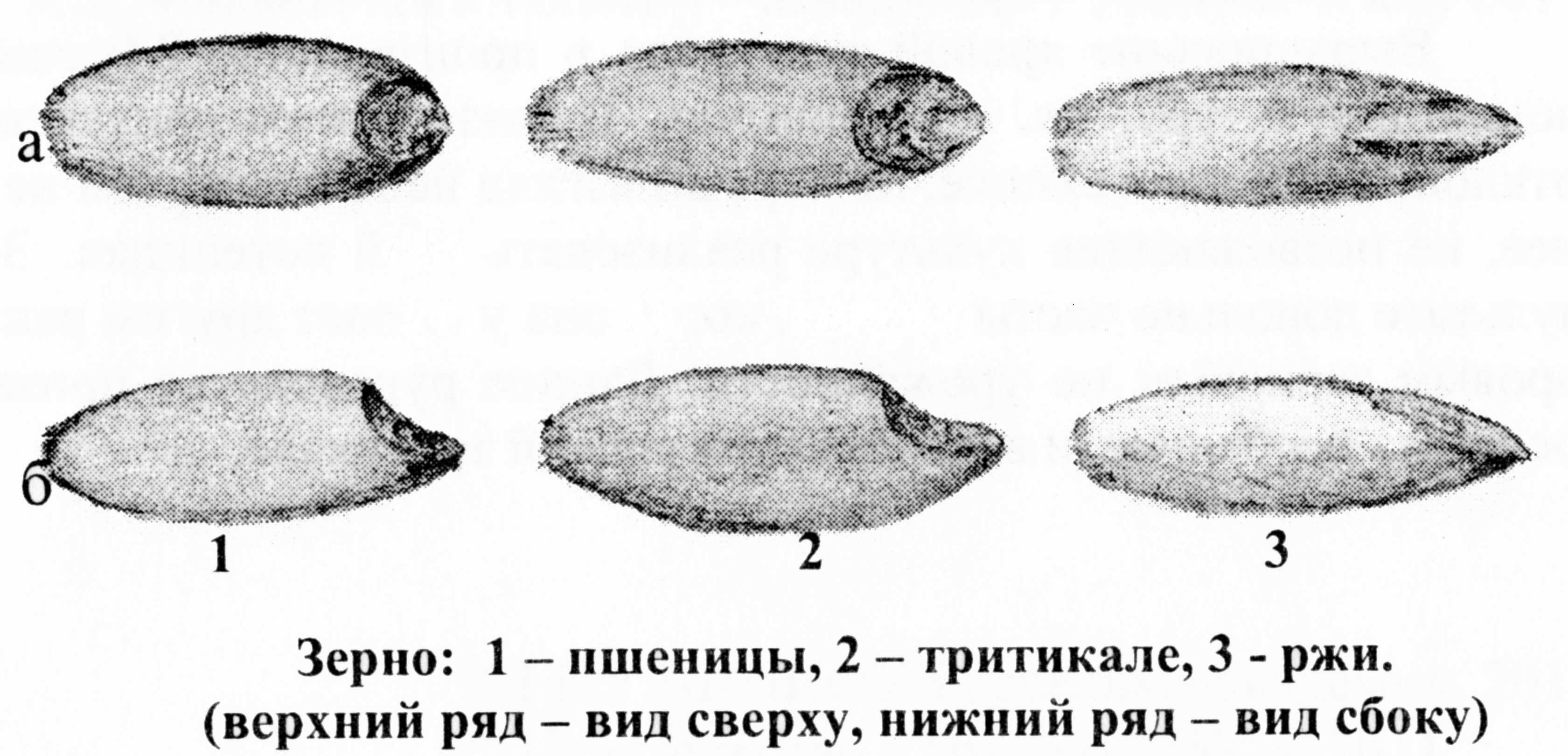 Технология возделывания яровой тритикале ФГБНУ Владимирский НИИСХ image0156